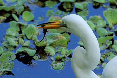 ardea: Great white egret with a salamander in its bill, standing in a cypress swamp in Florida. Scientific name is Ardea alba. Stock Photo