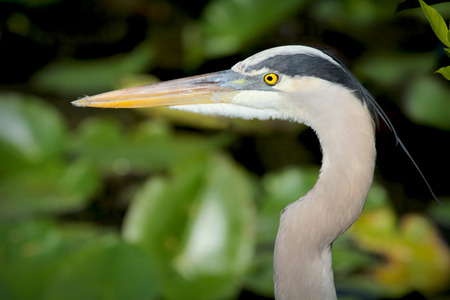 Great blue heron head detail in profile in the everglades of Florida. The scientific name is Ardea herodias. Its long, sharp bill is well adapted for capturing fish and crustaceans.