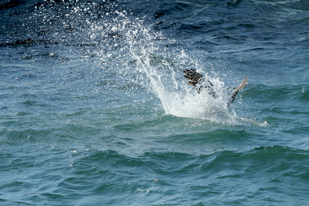 scouting: Brown pelican hitting the water in a splash from a high dive on the Gulf Coast of Florida. The brown pelican is a fish eater, often diving from 50 to 100 feet above the water. In this dramatic dive, it folds its wings to its side, and speeds like a dart i