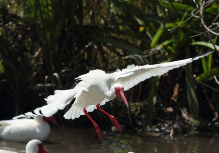 freshwater: One ibis (Eudocimus albus) landing in a freshwater pool at Fort DeSoto State Park in St. Petersburg, Florida, with wings outspread. The Ibis probes the ground and shallow water with its long, red, curved bill. It catches fish, crabs, crayfish, snakes, fro Stock Photo
