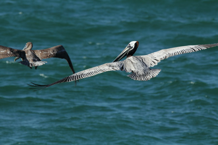 Twee bruine pelikanen (occidentalis Pelicanus) die over het water bij het Park van de Staat van Fort DeSoto in St. Petersburg, Florida vliegen. De bruine pelikaan is een viseter, die vaak van 50 tot 100 voet boven het water duikt. In deze dramatische duik vouwt het zijn vleugels naar zijn s