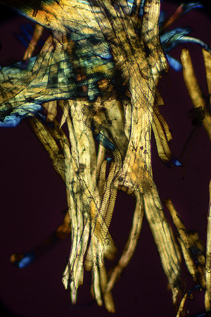 Nature abstract with muscle from a bumble bee. Micrograph with polarization at 100x.