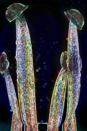 Stamen filaments and anthers of wood sorrel, Oxalis acetosella, in abstract polarizing micrograph at 40x.