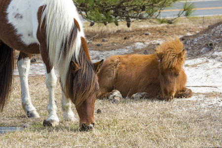 Two wild horses of Assateague Island National Seashore, with a foal resting while the mare browses in the grass.