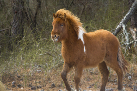 Foal, one of the wild horses of Assateague Island National Seashore in eastern Maryland, USA, runs through the woods.