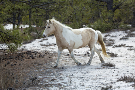 One of the wild horses at Assateague Island National Seashore in eastern Maryland, USA, trots through open, sandy woods.
