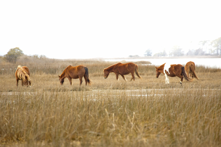 browses: Band of wild horses browses on marsh grasses at the edge of Sinepuxent Bay at Assateague Island National Seashore in eastern Maryland, USA.