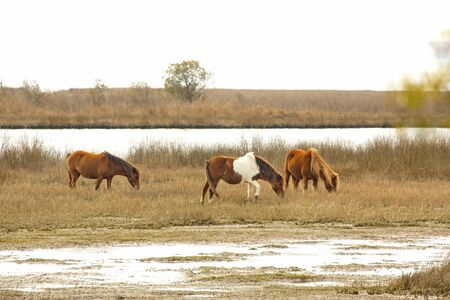 browses: Part of a band of wild horses browses on marsh grasses at the edge of Sinepuxent Bay at Assateague Island National Seashore in eastern Maryland, USA.