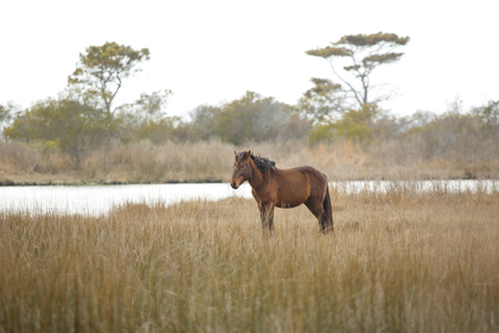 One of the wild horses at Assateague Island National Seashore in eastern Maryland, USA,  stands in marsh grasses at the edge of a saltwater inlet of Sinepuxent Bay.