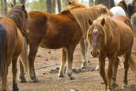 Band of wild horses ambles through open woods at Assateague Island National Seashore in eastern Maryland, USA, while one walks toward the camera.