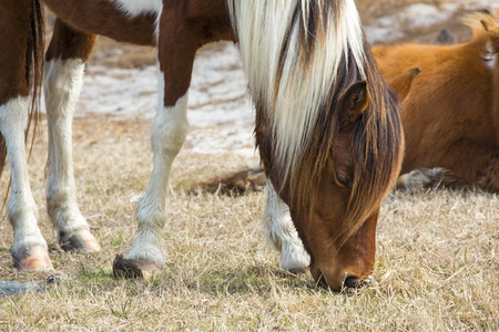 One of the wild horses of Assateague Island National Seashore, a mare, browses in the grass.