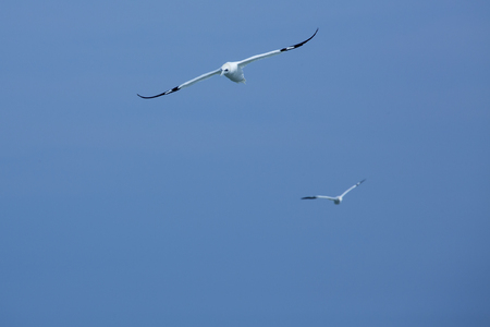 Pair of adult northern gannets soar over the Delaware River between Cape May, New Jersey and Lewes, Delaware in early spring.