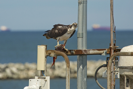 Osprey, Pandion haliaetus, with a captured fish in its talons, standing on dock structures at the Lewes, Delaware ferry landing. Stock Photo