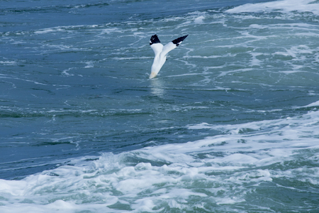 Northern gannet dives into agitated water from a passing ferry boat on the Delaware River, captured just as its head enters the water.