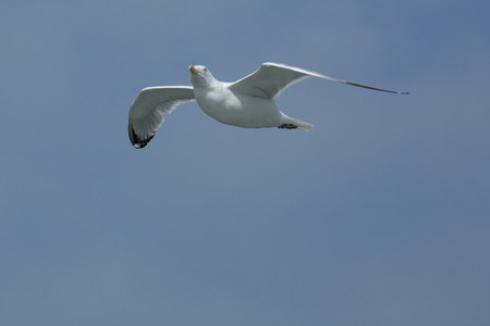 Single adult herring gull soars over mouth of the Delaware River near Cape May, New Jersey, with its head turned.