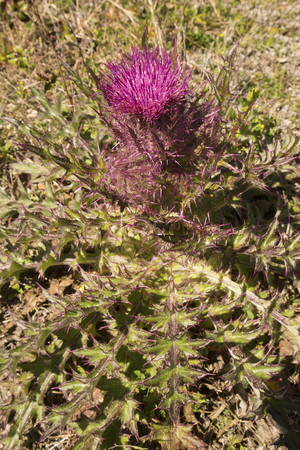 Bull thistle, Cirsium vulgare, in field at Harris Neck National Wildlife Refuge in McIntosh County, Georgia.