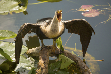 Juvenile anhinga, full body, standing with wings spread and bill wide open in swamp water of the Florida Everglades.