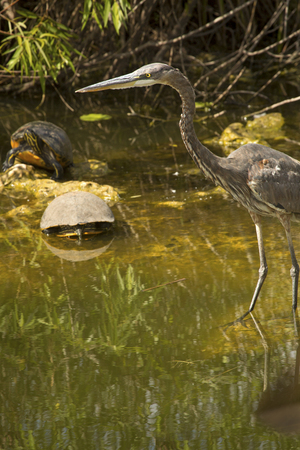Great blue heron with two red-bellied cooters in shallow swamp water of the Florida Everglades.