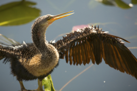 Closeup of juvenile anhinga standing with wings spread and bill partly open in swamp water of the Florida Everglades.
