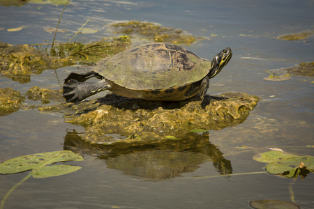 cooter: Red-bellied cooter, Pseudemys nelsoni, stretched out full body among water lilies in the Florida Everglades.