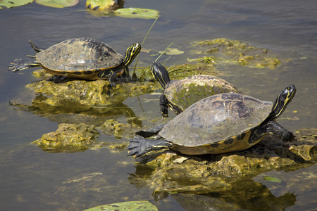Three red-bellied cooter turtles stretched out on rock in swamp water of the Florida Everglades.
