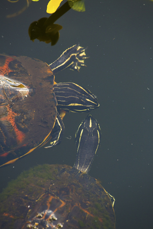 Two red-bellied cooter turtles, Pseudemys nelsoni, floating in the Florida Everglades.