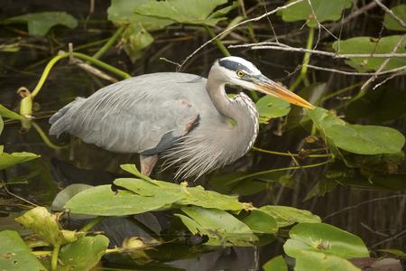 herodias: Great blue heron, Ardea herodias, full body wading among water lilies of the Florida Everglades.