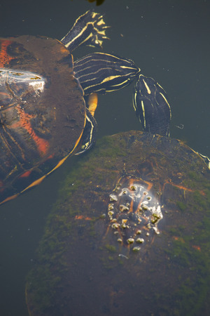 cooter: Two red-bellied cooter turtles, Pseudemys nelsoni, nearly touching lips in the Florida Everglades. Stock Photo
