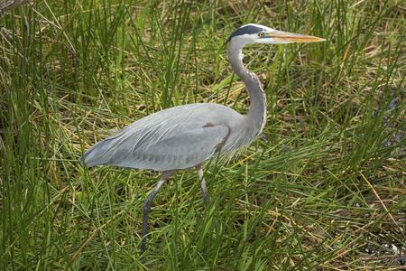 herodias: Great blue heron, Ardea herodias, full body in reeds of the Florida Everglades.