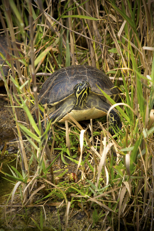 Red-bellied cooter turtle, Pseudemys nelsoni,, in swamp grasses of the Florida Everglades.