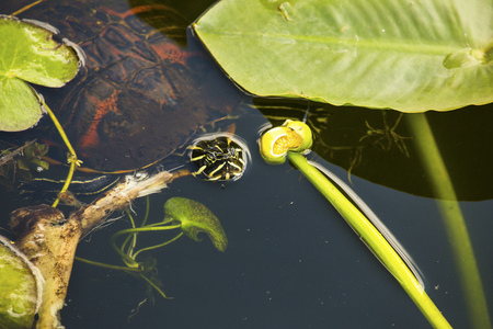 cooter: Red-bellied cooter turtle, Pseudemys nelsoni, floating  with yellow water lily in the Florida Everglades.