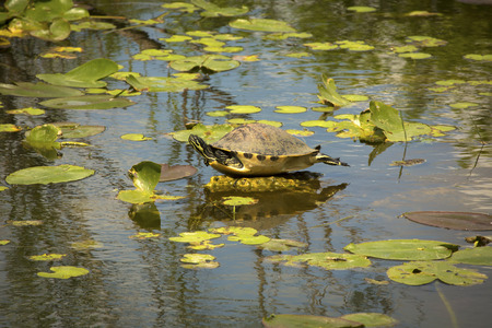 Red-bellied cooter, Pseudemys nelsoni, stretched out among water lilies in the Florida Everglades.
