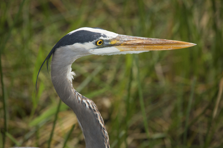 freshwater bird: Closeup of the head of a great blue heron, Ardea herodias, in reeds of the Florida Everglades. Stock Photo