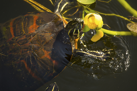 cooter: Red-bellied cooter turtle, Pseudemys nelsoni, eating a yellow water lily in the Florida Everglades. Stock Photo
