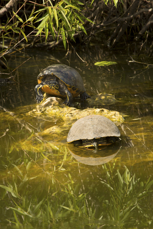 cooter: Two Florida red-bellied cooter turtles, Pseudemys nelsoni, basking in the sun in the Florida Everglades. Stock Photo
