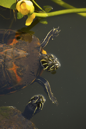 cooter: Two red-bellied cooter turtles, Pseudemys nelsoni, floating with yellow water lily in the Florida Everglades.
