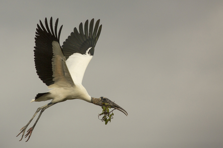 Wood stork, Mycteria americana, flying with a branch in its bill for nesting material in the Florida Everglades.