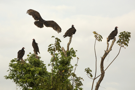 Buzzard landing into a group of four other vultures perched in a tree in the Florida Everglades.