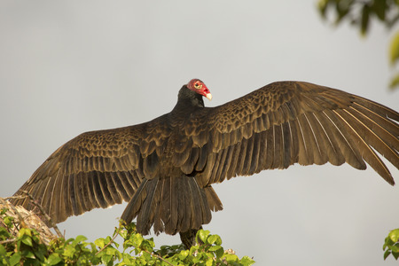 scavenger: Turkey vulture, Cathartes aura, perched on top of a dead branch with its wings outspread in the Florida Everglades.