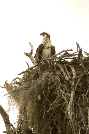Osprey standing at the edge of its nest at Flamingo in the Florida Everglades.