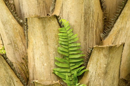 Closeup of truncate leaf bases of a palmetto tree, with a fern in south Florida. Stock Photo