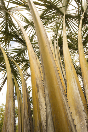 photosynthetic: Serrated, thorny stems of a towering palm tree in south Florida.