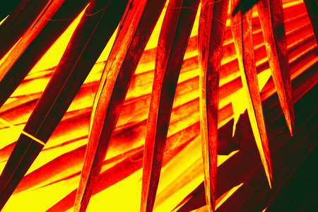 Abstract red and yellow, sharply pointed blades of a south Florida palmetto tree cross dramatically.