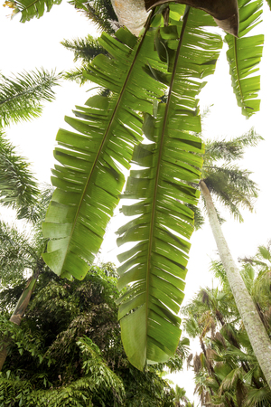 photosynthetic: Hanging leaves of a palm tree in south Florida with other tropical trees in the background. Stock Photo