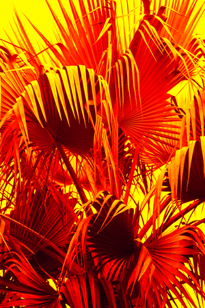 Abstract, drooping, red leaf tips of a south Florida palmetto have a dramatically exotic, alien appearance.