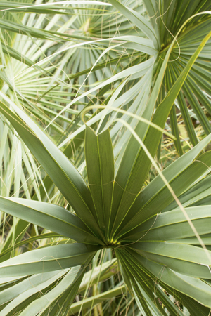Abstract fanlike patterns of overlapping leaves of a palmetto tree in south Florida.