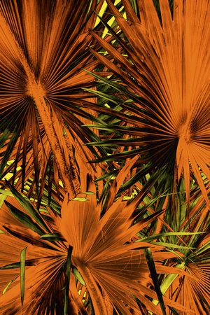 sharply: Abstract, radiating, sharply pointed blades of palmetto leaves from south Florida.