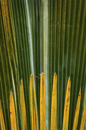 Abstract linear patterns of overlapping palm leaves in south Florida. 版權商用圖片