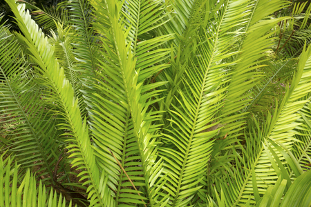 Long, linear, green leaves of a Zamia cycad, springtime in south Florida.