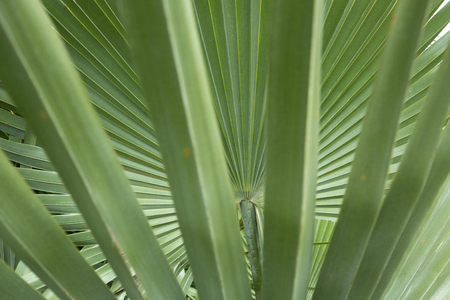 Abstract, linear, fanlike patterns of overlapping palm leaves in south Florida.